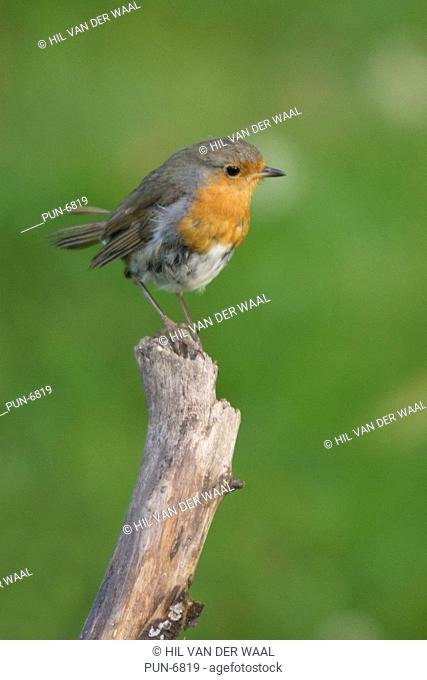 Curious looking Robin Erithacus rubecula perched at branch