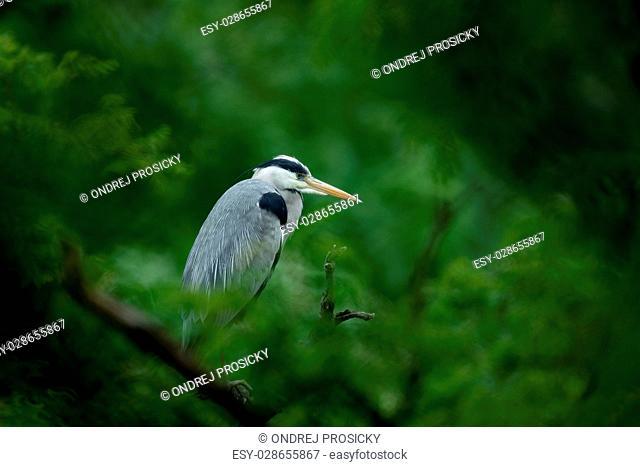 Grey heron sitting in the green branch