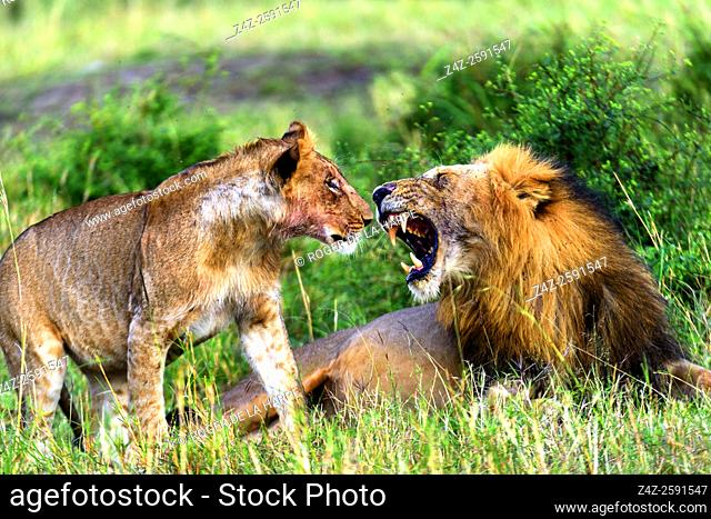 Lion (Panthera leo) snarling at a juvenile. Serengeti National Park. Tanzania