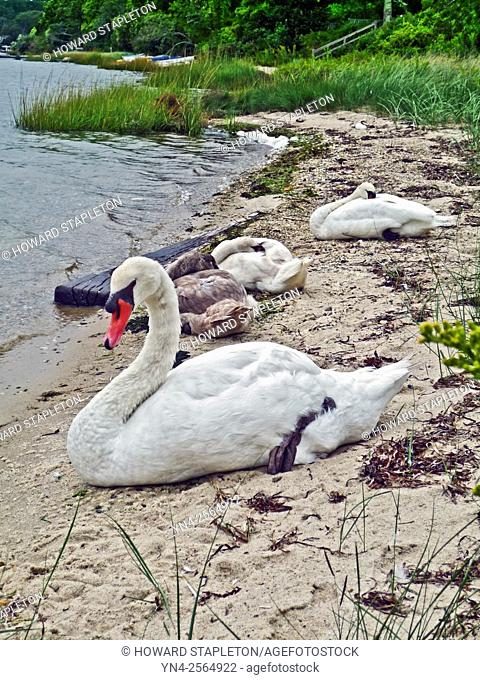A family of mute swans (Cygnus olor) at Martha's Vineyard