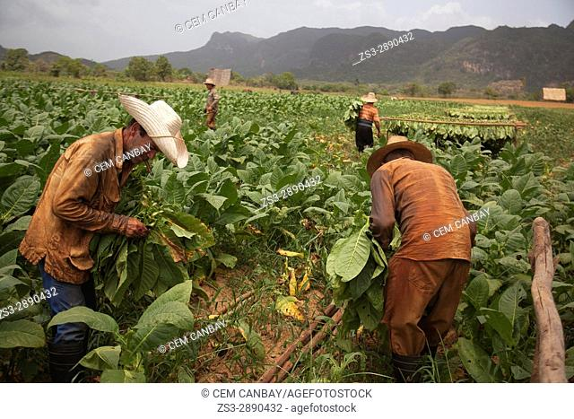 Farmers picking tobacco leaves in the valley of Vinales, Pinar del Rio Province, Cuba, Central America