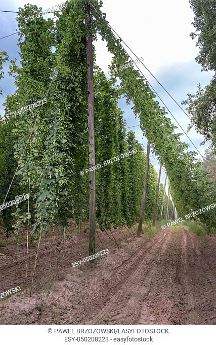 Row of mature hop plants in a hop yard in September. Hop plants near harvest time in a hop yard