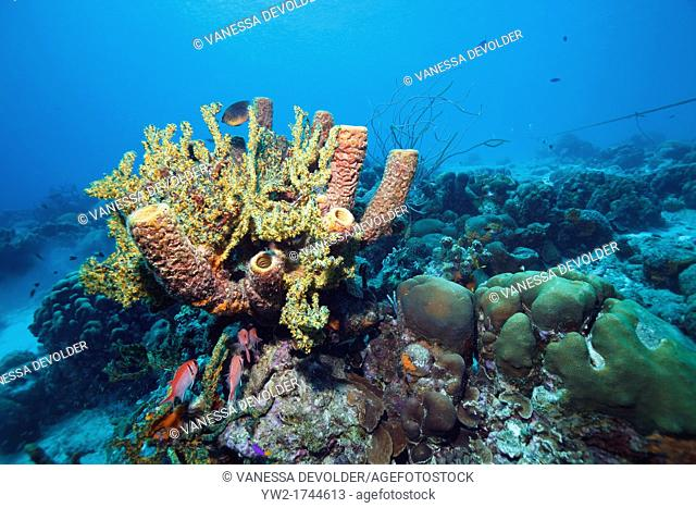 Coral reef in the Caribbean Sea around Bonaire, Dutch Antilles