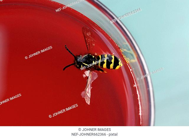Wasp drowning in currant juice, close-up, Sweden