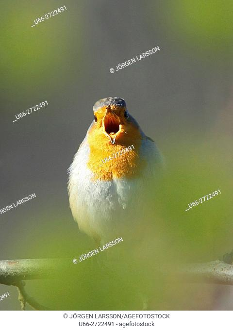Sweden, Stockholm, Robin (Erithacus rubecula) calling while perching on branch