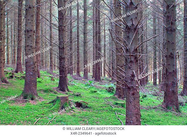Managed coniferous forestry, near Mullingar, County Westmeath, Ireland