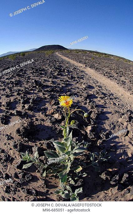 Desert Daisey near cinder cone Amboy Crater. Amboy, CA. USA.