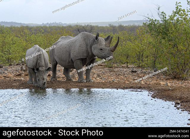A White rhinoceros or square-lipped rhinoceros (Ceratotherium simum) (endangered species) mother and calf at a waterhole in the Ongava Game Reserve