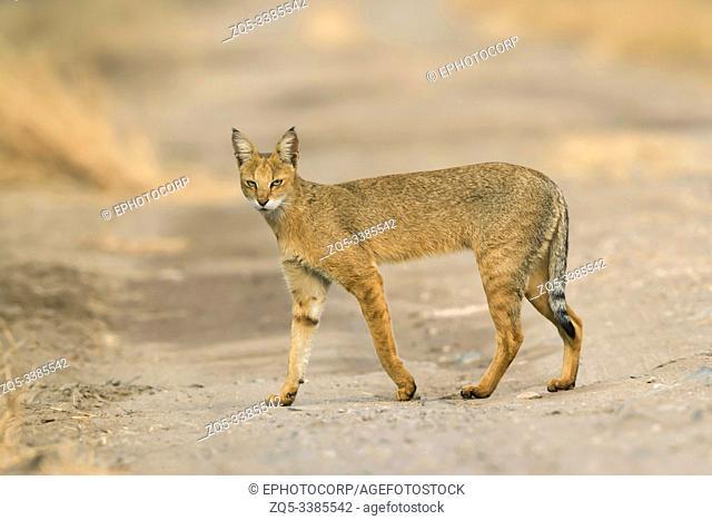Jungle cat, Felis chaus at Blackbuck National park in Velavadar, Bhavnagar, Gujarat, India