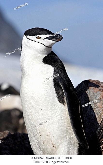 Chinstrap Penguin (Pygoscelis antarcticus). Ronge Island, Antarctica