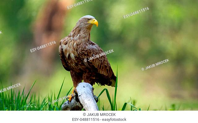 Adult white-tailed eagle, haliaeetus albicilla, sitting on bough low above ground in floodplain forest with broken tree blurred in background