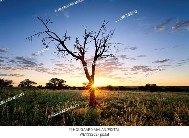 Landscape photo of a colourful sunset over a dead tree in the Kalahari. Kgalagadi Transfrontier Park, Southern Africa