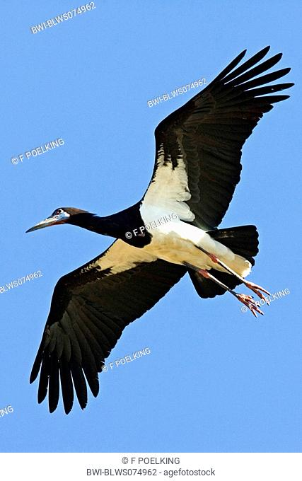 Abdim's stork Ciconia abdimii, flying, Tanzania, Serengeti NP, Lake Ndutu
