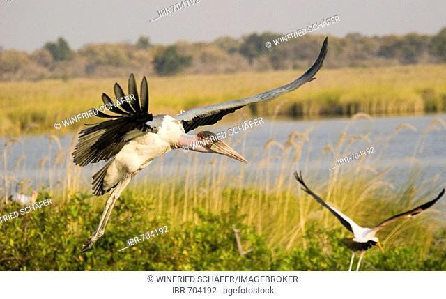 Marabou Storks (Leptoptilos crumeniferus) landing to join their colony, Okavango Delta, Botswana, Africa