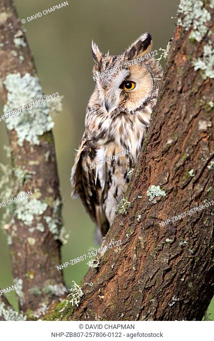 Long Eared Owl; Asio otus; UK