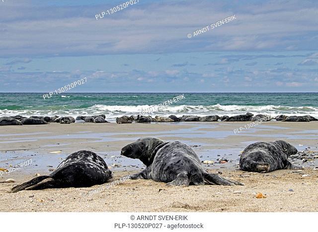 Grey seals / gray seal (Halichoerus grypus) colony resting on beach