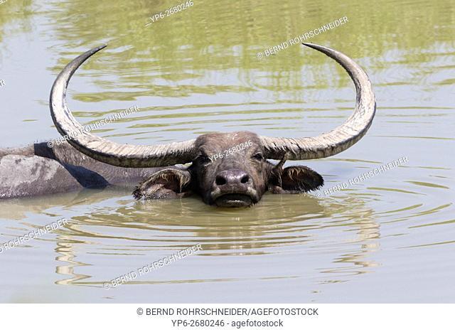Water buffalo (Bubalus arnee) bathing in waterhole, Kaziranga National Park, Assam, India