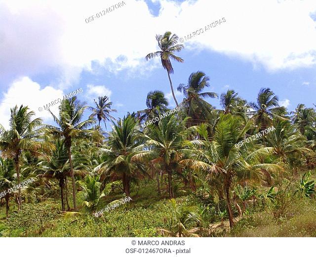 palm trees cocoa coconut plantation