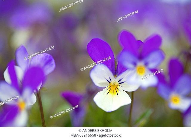 Pansies, Viola Tricolor, detail, bloom plants flowers ornamental-plants violet-plants Violaceae, field-pansies, field-pansies, bloom, three-colored, prime