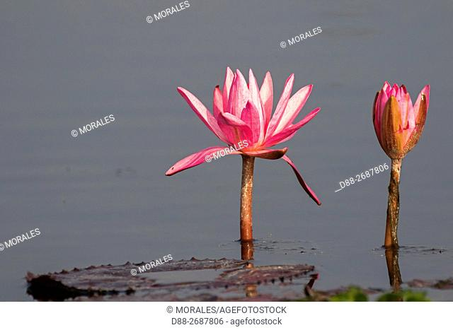 South east Asia, India,Assam state,Brahmapoutra,. pond with pink water lily