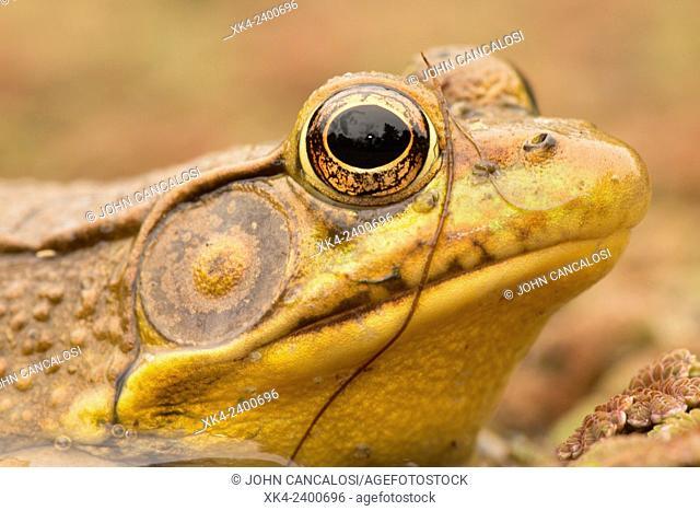 Green frog (Rana clamitans), Washington DC, USA