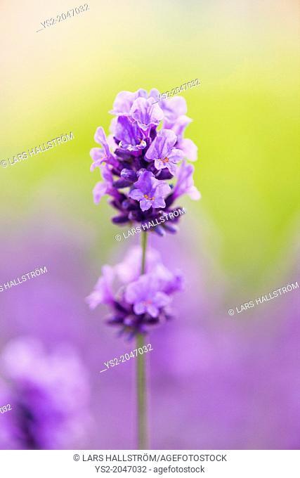 Closeup of purple lavender flower in herbal garden in summer