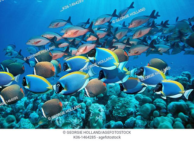 Powder-blue surgeonfish  Acanthurus leucosternon , with Redtail or Collare butterflyfish Chaetodon collare and Paddletail snappers Lutjanus gibbus over coral...