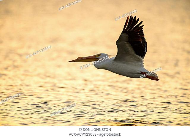 American white pelican (), Goose Island State Park, Texas, USA
