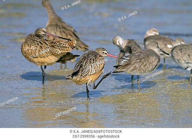 Marbled Godwits Limosa fedoa and Willets feeding March Fort Myers beach Gulf coast Florida USA