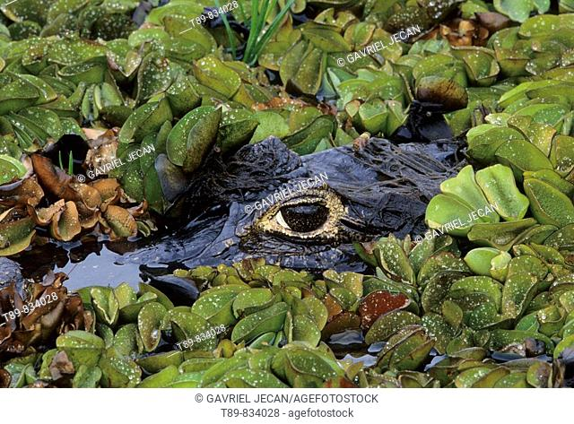 Pantanal Close-up of caiman Caiman crocodilius yacare head and mouth, side view