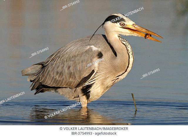 Grey Heron (Ardea cinerea) with caught stickleback, Lower Saxony, Germany