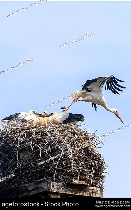 13 July 2021, Saxony-Anhalt, Loburg: A white stork flies up from its nest at the stork yard, where six young storks are sitting
