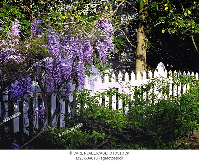 Wisteria grows above a white picket fence in front of a rustic cabin, Pennsylvania, USA