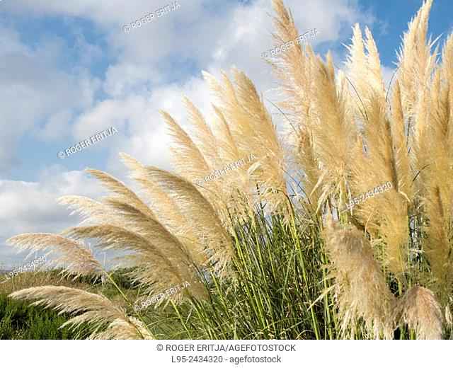 Cortaderia selloana is a South American plant now widely distributed to the Mediterranean