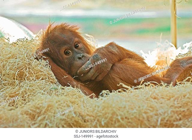young orangutan - lying restrictions: Tierratgebebücher, Kalender / animal guidebooks, calendars