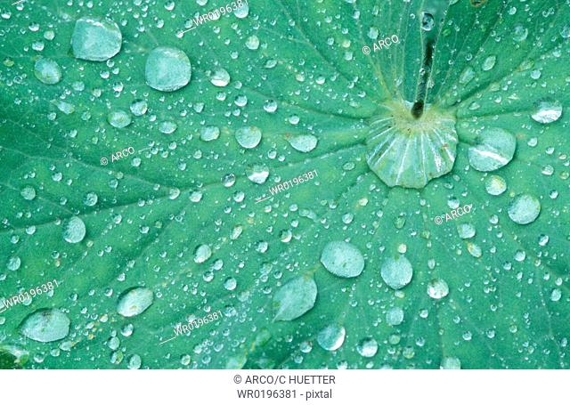 Ladys, Mantle, leaf, with, raindrops, Alchemilla, vulgaris