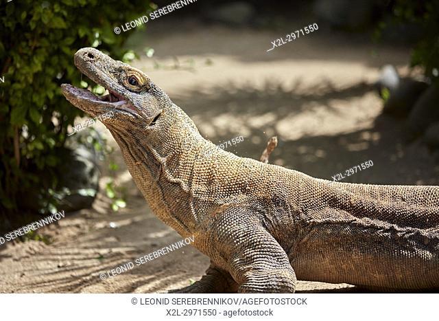 The Komodo dragon, or Komodo monitor (Varanus komodoensis). Bali Bird Park, Batubulan, Gianyar regency, Bali, Indonesia