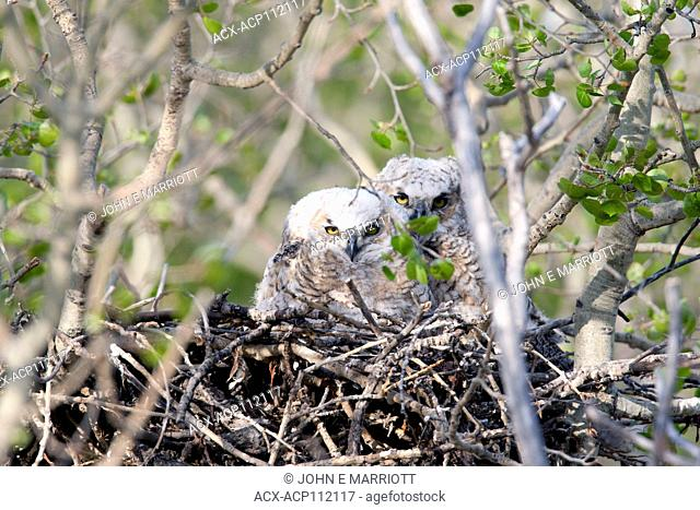 Great horned owl chicks in a nest, Bubo virginianus