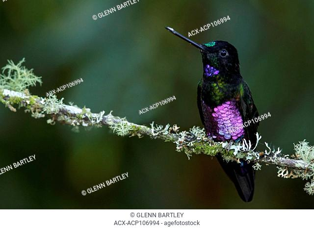 Blue-throated Starfrontlet (Coeligena helianthea) perched on a branch in the mountains of Colombia, South America