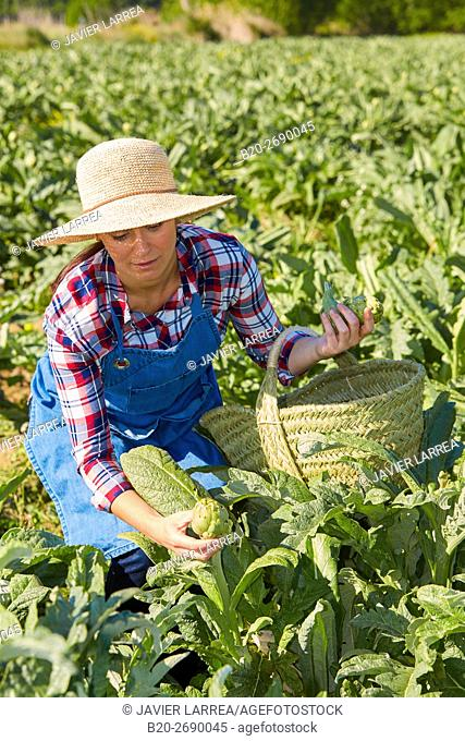A farmer harvesting artichokes, Agricultural field, Milagro, Navarre, Spain
