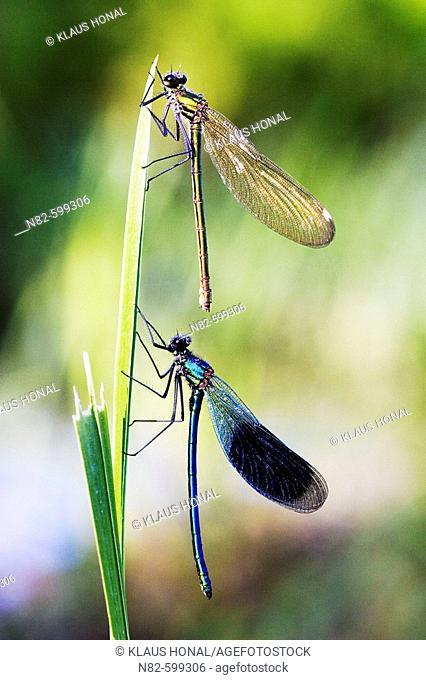 Banded Demoisells (Calopteryx splendens) pair on plant in morning dew