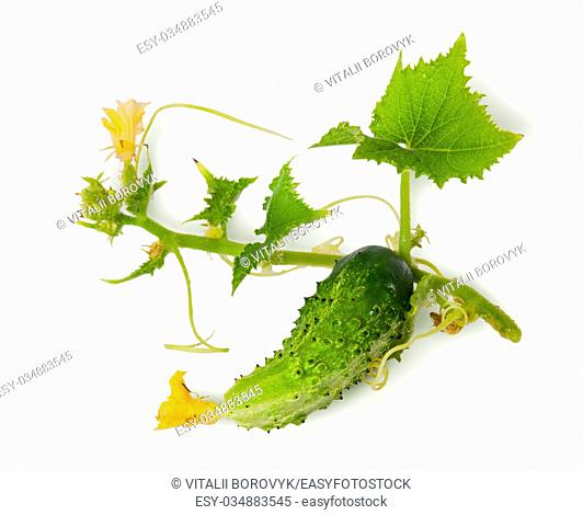 Young green cucumber with leaves isolated on white background