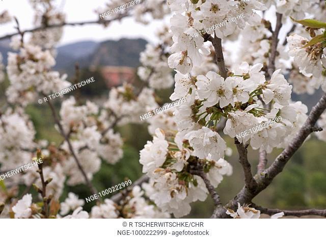 Cherry Blossom, Majorca, Spain, Europe