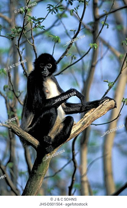 Spider Monkey,Ateles geoffroyi,South America,Central America,adult resting on tree