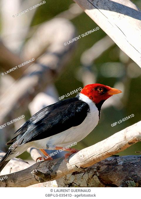 Birds, Cardinal-pity-swampland, Pantanal, Mato Grosso do Sul, Brazil