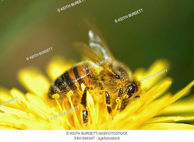 Honey Bee, Apis mellifera on Dandelion flower, Taraxacum vulgaria, Wales