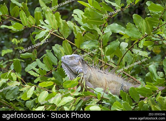 Green iguana (Iguana iguana) male perched on vegetation. Palo Verde National Park. Guanacaste Province. Costa Rica