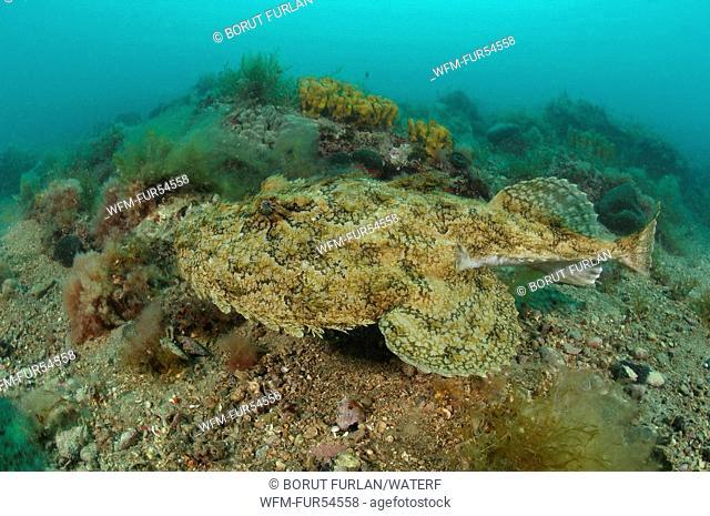 Monkfish, Long-spined Anglerfish, Lophius piscatorius, Piran, Adriatic Sea, Slovenia