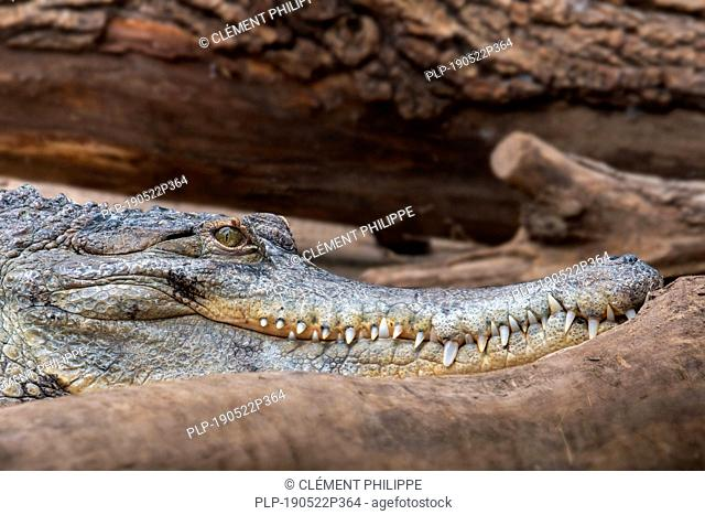 Close-up portrait of West African slender-snouted crocodile (Mecistops cataphractus) native to West Africa