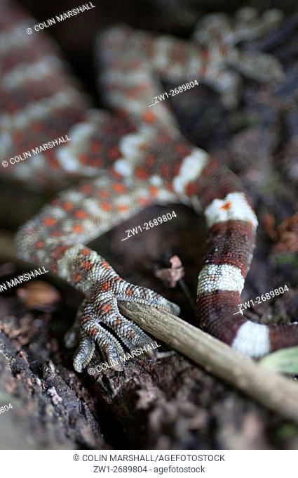 Tokay Gecko (Gekko gecko) tail, Klungkung, Bali, Indonesia